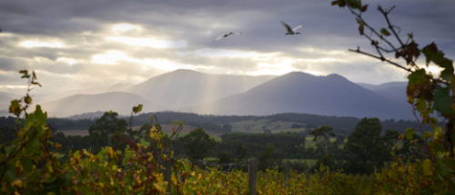 From Domaine Chandon vineyard looking toward Great Dividing Mountain Range, Yarra Valley