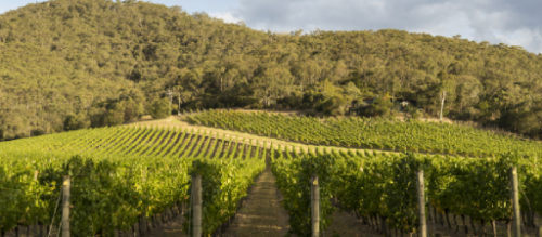 Vineyard in dress circle of the Yarra Valley