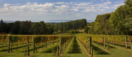 Mornington Peninsula Vineyard overlooking ocean