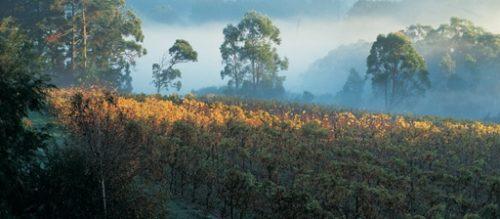 Morning mist across Mornington Peninsula Vineyard
