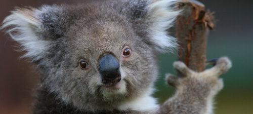 Koala in tree at Healesville Sanctuary, Yarra Valley