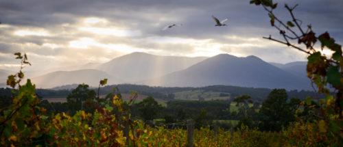 morning view of vineyard