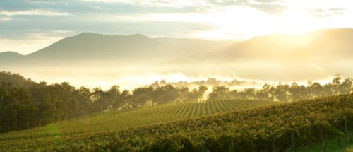 morning vineyard vista
